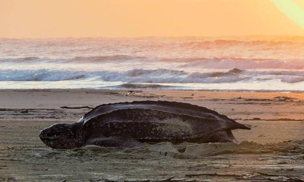 Ameaçada de extinção, tartaruga-de-couro segue desovando em Pontal do Paraná